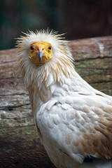 Portrait of a Scavenger (thisbrokenwheel) Tags: avian feathers raptor carnivore bird vulture egypt zoo scavenger conservation african egyptianvulture