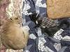 Sleepy on the Futon (sjrankin) Tags: 19march2018 edited animal cat norio argent blanket futon bedroom yubari hokkaido japan sleep