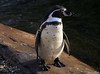 Cold? - no problem! (Rolf Piepenbring) Tags: pinguin penguin zookrefeld krefeld