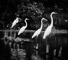Watching (GNandhra) Tags: animals nature wildlife landscape blackandwhite india kovalam kerala birds