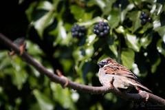Sparrow (Cloudtail the Snow Leopard) Tags: spatz sperling hasusperling vogel tier animal bird passer domesticus house sparrow zoo stadtgarten karlsruhe