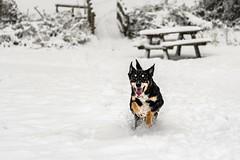Lenny playing in the snow (_John Hikins) Tags: dog animal australiankelpie australian snow snowing nikon nikkor 50mm 50mm18 18 18mm f18 lenny playing park woods d500 devon torbay torquay