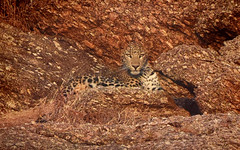 I see you! (Rick Elkins) Tags: leopard camouflage bigcat spots granite rocks narlai rajasthan india wild