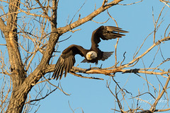 Bald Eagle launch in the morning light - 4 of 13