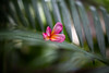 Frangipani flower.. (paul.wienerroither) Tags: flower frangipani plants plant leaf leaves colors nature natureshots bali indonesia travel green greenisbeautiful photography canon 50mm 5dmk3
