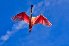 Spoonbill Flyover (dngovoni) Tags: action background bird flight florida spoonbill staugustine sunset wildlife unitedstates us