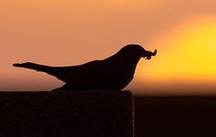 Blackbird (dusk_rider) Tags: dusk rider blackbird feed feeding worm grub male hertfordshire hitchin nikon d7200 200500mm