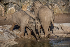 While we're here we'll have a drink (JKmedia) Tags: asian elephant boultonphotography 2018 february chesterzoo close animal trunk indian hiwayherd baby calf dirty soil sand brown sibling drinking pool water curly