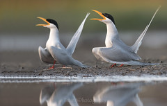 Courtship behavior of River terns (T@hir'S Photography) Tags: tern river courtship matting morning wildlife sialkot pakistan wings motion reflection riverternbird adolescence animal animalbodypart animaleye animalhead animalmarkings animalnest animalwildlife animalshunting animalsinthewild artscultureandentertainment barnswallow beak beautyinnature bird birdsnest courage cute feather femaleanimal fineartportrait flying grayhair gulfofmexico horizontal maleanimal nature nopeople outdoors pattern photography red rockobject rockmusic seabird seagull small songbird springflowingwater whitecolor