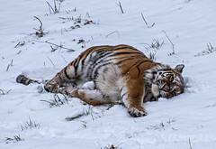 "YWP: ""Tschuna"" in the snow 1 (Adrian.W) Tags: tiger amurtiger bigcat flickrbigcats cat feline predator endangered fur stripes ywp yorkshirewildlifepark yorkshire doncaster nikon d5500 70300mm tschuna"
