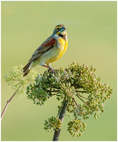 Dickcissel by Steve Ornberg - Award Class A Prints - March 2018