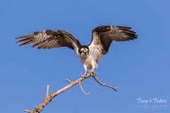 Male Osprey landing sequence - 26 of 28