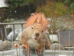 """Gar kein schönes Wetter heute ... (flixx-ak) Tags: flixxakoffenbachammainhessen deutschland germany """"anvormeinemfenster"""" eichhörnchen squirrel 2018 r0024524 explore"""