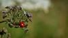 P1030377_nc (Florent VOULOIR) Tags: boissyauxcailles macro coccinelle