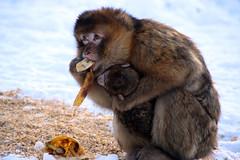 Berberaffen im Schnee (samgi2) Tags: tiere animaals planet specanimal canon berberaffen affen und vogelpark eckenhagen nrw deutschland germany monkeys baby natur europa outdoor tier schnee snow europe b