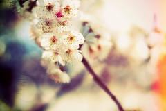 桜の想い出 (furisumeru) Tags: fujifilm xm1 flower sakura cherry blossom macro