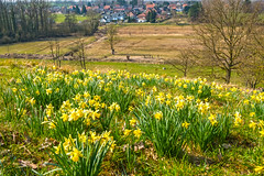 Daffodil Hill (enneafive) Tags: daffodil overbroek hill flowers nature yellow fujifilm xt2 spring colour