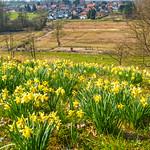 Daffodil Hill thumbnail