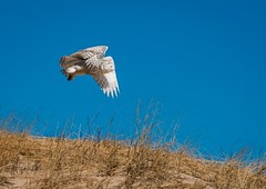 Snowy Owl In Flight (Epperly Photographic Images) Tags: snowy owl birds nature michigan north cold nikon d800e wildlife