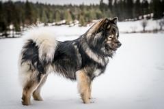 untitled (218 of 527) (neumeyerjudi) Tags: eurasier eurasiers edelweisseurasiers dog dogs dogbreed dogdogspuppuppypuppiespupseurasiereurasiersedelweisseurasierspacificcoastkennelnatureanimalpetpetsfamilyelementseurasiers breeding eurasierdogsnoweurasiersdogswinteranimalnatureweatherjoyplayrun snow winter photography pacificcoastkennels