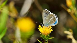 Polyommatus (Agrodiaetus) merhaba