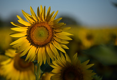 Nature science (vabserk) Tags: yellow nature sunflower helianthus science geometry