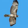 Red-Tailed Hawk (Ed Sivon) Tags: america canon nature lasvegas wildlife wild western southwest desert clarkcounty clark vegas bird birdofprey henderson nevada preserve