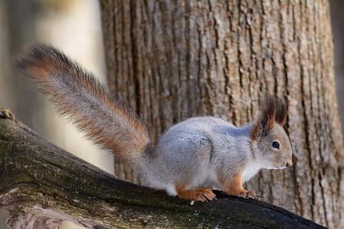 Обыкновенная белка, Sciurus vulgaris, Eurasian Red Squirrel
