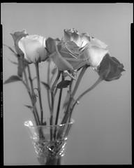 Roses Still on 4x5 Film (Pali K) Tags: analog ishootfilm istillshootfilm ilovefilm filmisawesome filmphotography filmisnotdead fujifilm velvia100 4x5 4x5film 4x5photography largeformat sinarnorma flowers stilllife studio blackandwhite jobocpp2 tetenale6 e6 nature heidelberg tango pmt drumscan drumscanner