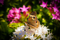 """Beauty in the Garden""  Common Buckeye (Cathy Lorraine) Tags: flowers white pink sunlight nature insect butterfly green outdoors beauty colorful macro easter garden"