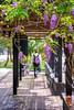 台大紫藤 (游萬國) Tags: 台灣大學 台北市 紫藤 紫 花 flower purple wisteria