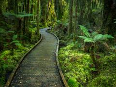 New Zealand Forest (Action Photo Tours) Tags: haast newzealand shipcreek southisland boardwalk fern ferns forest green rainforest trail treefern