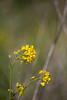 Mustor (Brannan!) Tags: sinapis arvensis charlock mustard wild field plant foliage pt point reyes kehoe beach trail stem flower leaves leaf petal