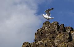 Herring Gull (Paul..A) Tags: herringgull herring gull scotland