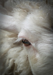 In his eyes his story (alejandrabassoph) Tags: animal animalbody partanimal eye animalhair animalhead animalmouth animalnose animalthemes animalwildlife closeup hair herbivorous livestock mammal nopeople oneanimal pets sheep vertebrate whitecolor