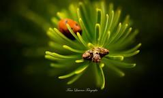 Camuflaje (franlaserna) Tags: green plants bug sigma sigma105 nikon macrophotography macro nature
