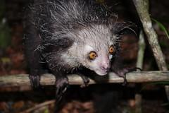 Aye-aye, A Nocturnal Lemur (Daubentonia madagascariensis) (Susan Roehl) Tags: madagascar2017 islandofmadagascar offtheeastcoastofafrica palmariumreserve ayeaye nocturnallemur daubentoniamadagascariensis wild animal mammal omnivore strepsirrhineprimate genusdaubentonia familydaubentoniidae rodentliketeeth specialthinmiddlefinger largestnocturnalprimate fillsnicheofawoodpecker percussiveforaging consideredevilfolkbelief iucnendangered basedonsuperstition arboreal solitary sphericalnests sueroehl photographictours naturalexposures panasonic lumixdmcgh4 35x100mmlens handheld photographedatnight highlycropped insectivore coth5 ngc