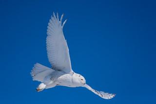 1804_0184 Snowy Owl