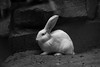 did I miss something? (Armin Fuchs) Tags: arminfuchs animal hare germanhare white easter eggs question