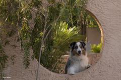 14/52  Welcome to My Oasis (Jasper's Human) Tags: 52weeksfordogs 52wfd aussie australianshepherd boycethompsonarboretum dog oasis