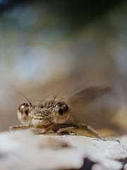 Leste brun (Olympus Passion eric leroy) Tags: vert dragonfly libellule leste brun macro zuiko 60macro 60mm olympus omd em1 mkii var paca provence