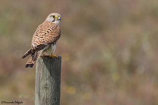 Peneireiro Comum (Falco tinnunculus) | Common Kestrel |  Cernicalo Vulgar | Faucon crécerelle | Gheppio comune