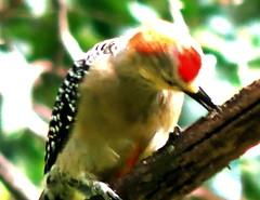 Red-crowned Woodpecker, Melanerpes rubricapillus (asterisktom) Tags: tripsouthamerica2017 2017 august colombia medellin bird vogel ave 鸟 птица 鳥 pajaros redcrownedwoodpecker melanerpesrubricapillus carpintero woodpecker
