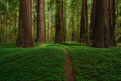 Enlightened Grove (Willie Huang Photo) Tags: redwoods california northerncalifornia forest green trees sorrel light landscape scenic nature