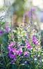 Chamerion angustifolium (Stefano Rugolo) Tags: stefanorugolo pentax k5 pentaxk5 smcpentaxm50mmf17 ricohimaging bokeh blooming chamerionangustifolium highkey light summer depthoffield primelens pentaxprime vintagelens manualfocus sweden hälsingland