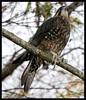 New Zealand Falcon ( Falco novaeseelandiae) (radspix) Tags: new zealand falcon falco novaeseelandiae canon 5dii ef 100300 f4556