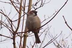 Tree sparrow (Jurek.P) Tags: ptaki ptak wróbel wróbelmazurek sparrow treesparrow warsaw warszawa nature poland polska jurekp sonya77