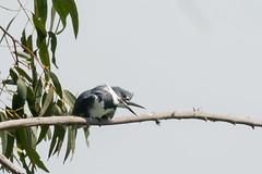 DSC_1112.jpg Belted Kingfisher, Schwan Lake (ldjaffe) Tags: schwanlake twinlakes beltedkingfisher