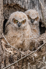 Great Horned Owlets (Explored, thank you) (Kevin E Fox) Tags: