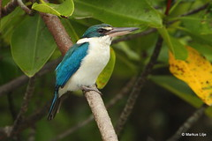 Collared Kingfisher (markus lilje) Tags: collaredkingfisher kingfisher todiramphuschloris markuslilje thailand bird birds birding colorful fishing perched green